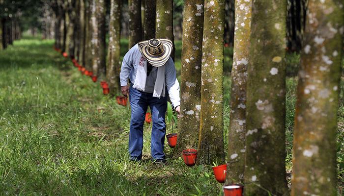 El caucho, un cultivo de doble vía en el Catatumbo | Noticias de Norte de Santander, Colombia y el mundo