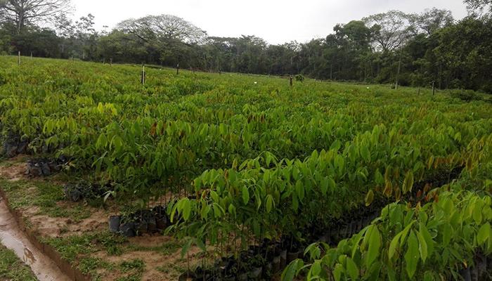 El caucho, un cultivo de doble vía en el Catatumbo   Noticias de Norte de Santander, Colombia y el mundo
